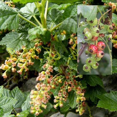 stone currant